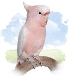 major mitchells cockatoo