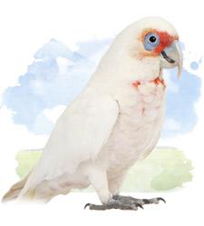 slender bills cockatoo