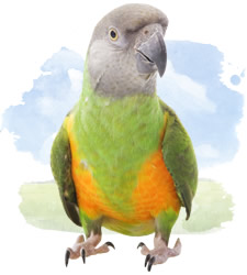 african parrots - senegal's  parrot