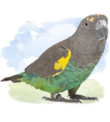 african parrots - meyer's parrot