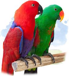 eclectus roratus parrot