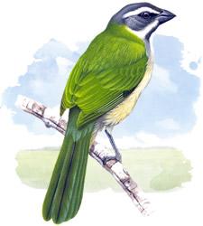 green winged saltator
