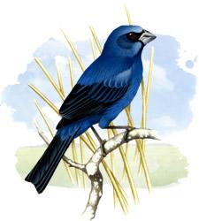 blue brazilian grosbeak
