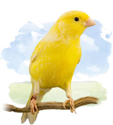 colorbred canaries