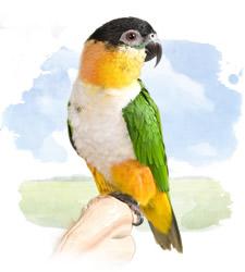 caiques - black-headed parrot