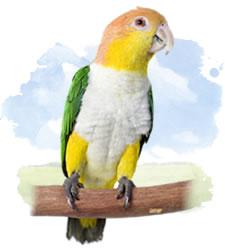 caiques - white bellied parrot